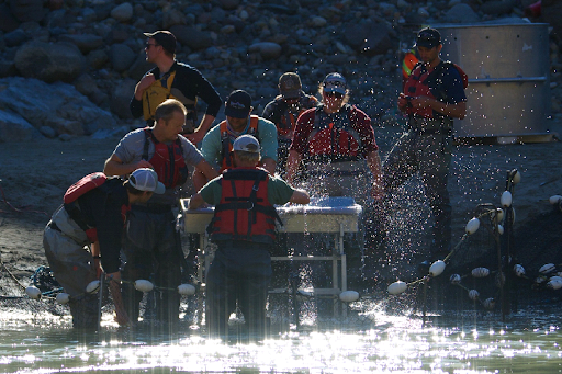 Capturing and tagging Fraser River salmon. Photo credit: Gina Anderson